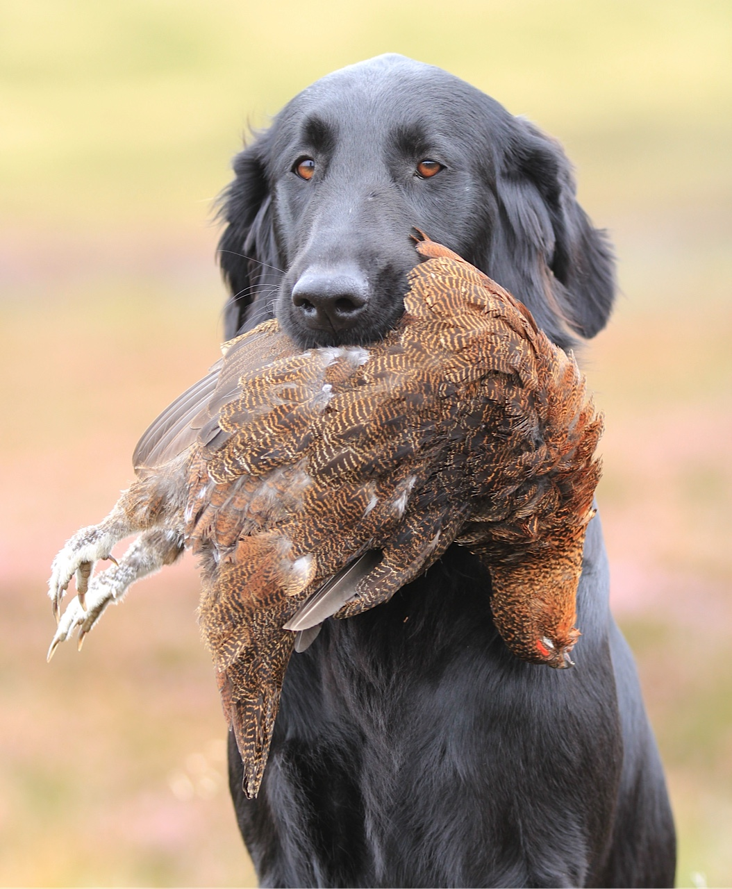 Ripple grouse